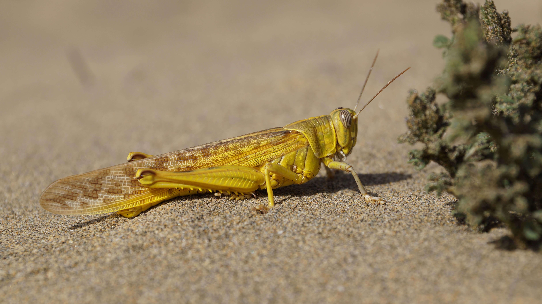 Фото саранчи пустынной