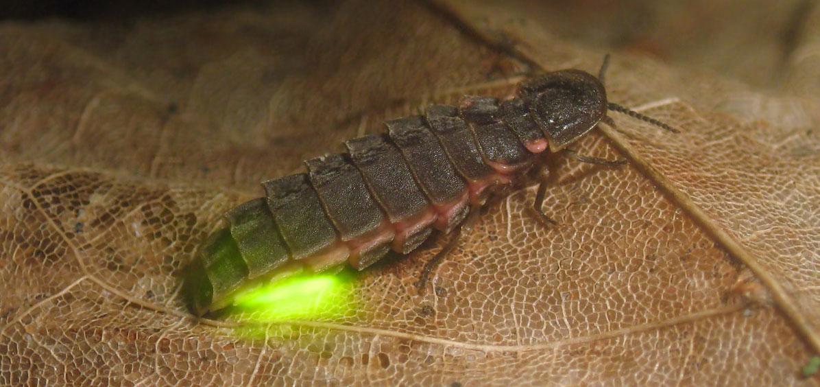 Фото самки светлячка