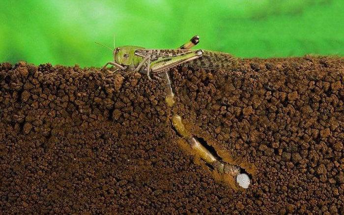 Фото саранчи откладывающей яйца