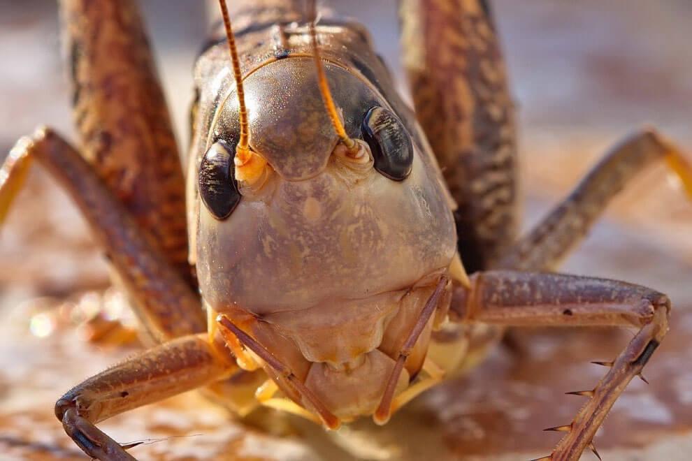 Фото саранчи вид спереди