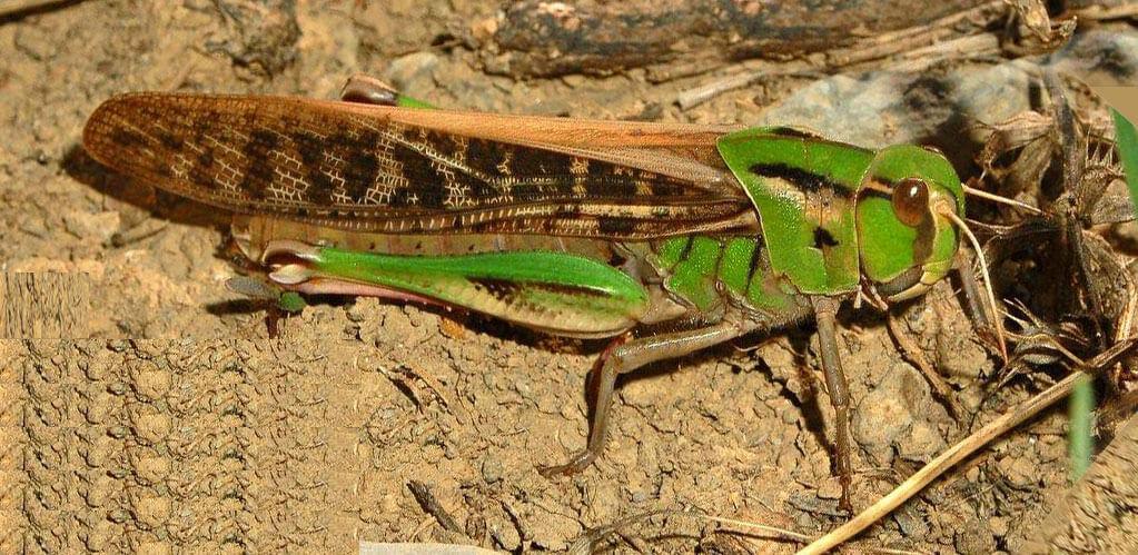 Фото зеленной саранчи