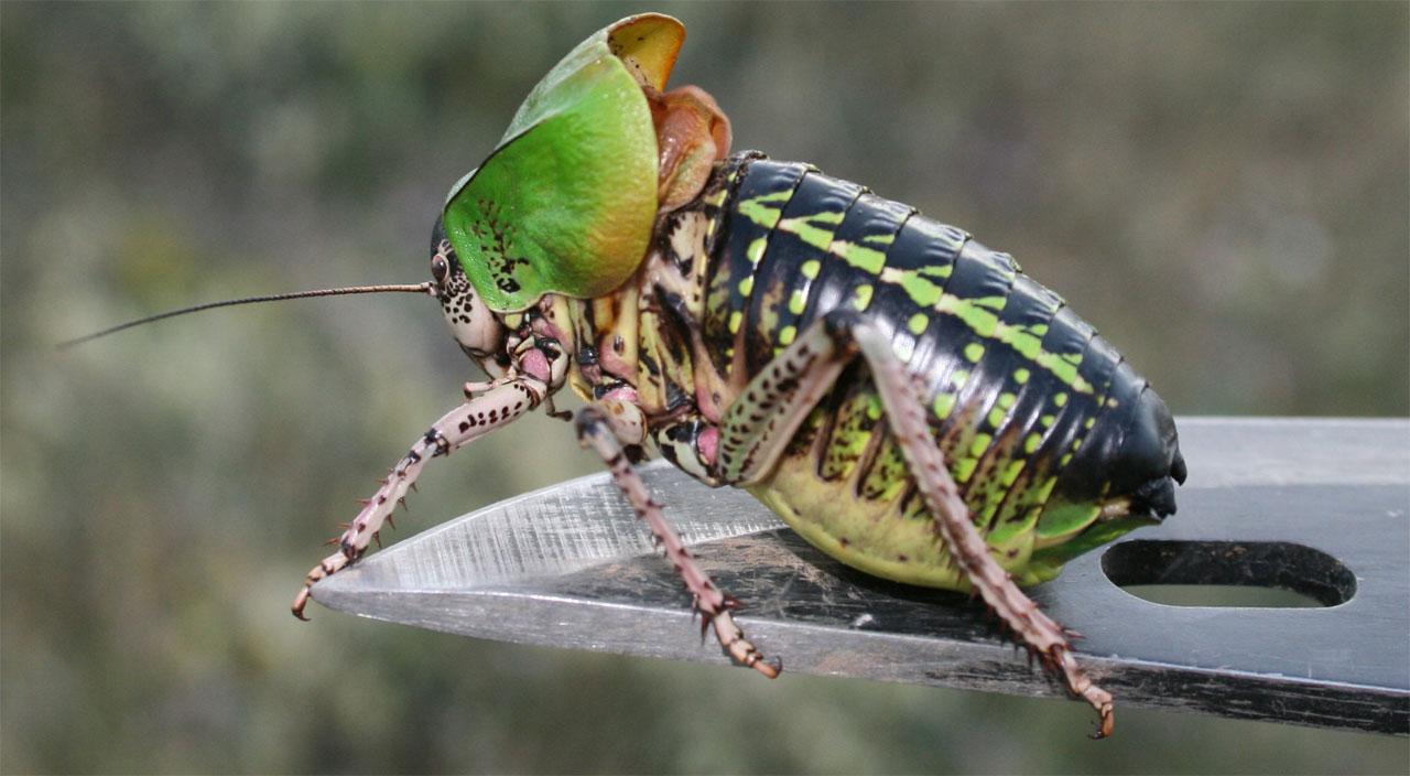 Фото самца шароголового кузнечика
