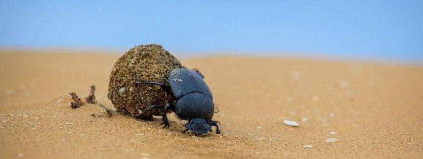 Фото скарабея в жаркой пустыне с шаром