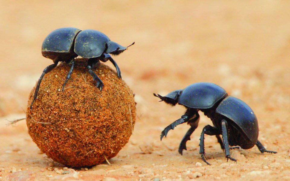Фото встреча жуков скарабеев самки и самца