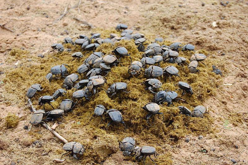 Фото жуков скарабеев в навозе