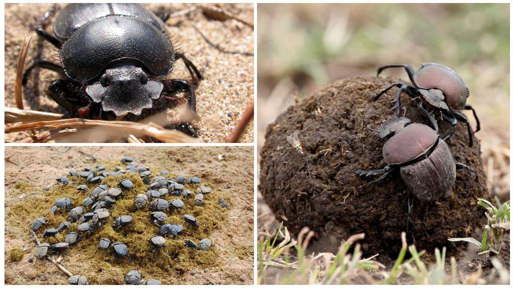 Фото жука скарабея формирующего шар из навоза