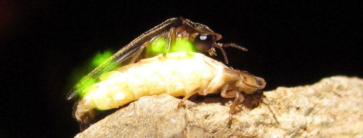 Фото спаривания светлячков