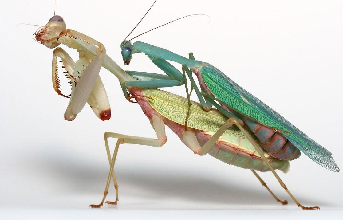 Фото самки и самца богомола