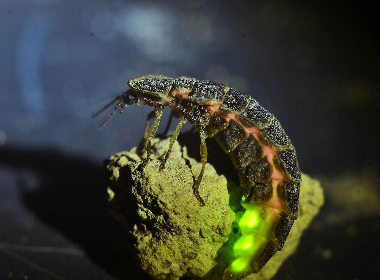 Фото самки светляка светящаяся